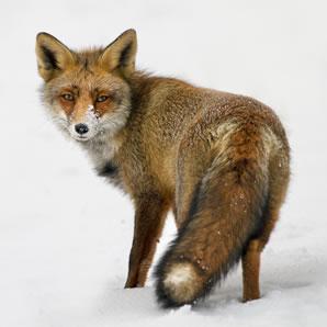 Fox Home Accessories Uk